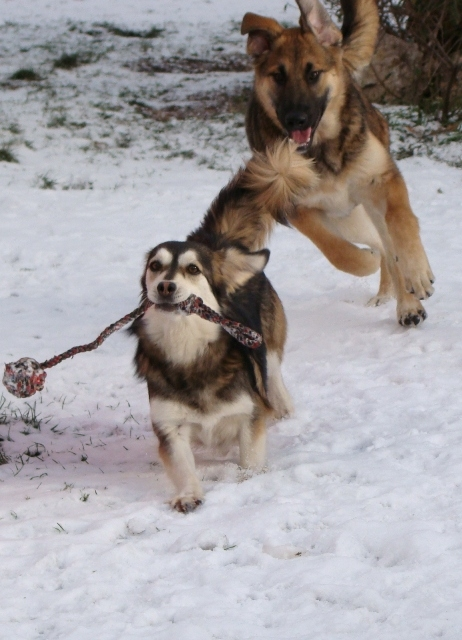 Pickwick_playing_with_other_dog_xmas_snow_24dec10