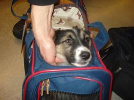 Male puppy at jfk 29dec10